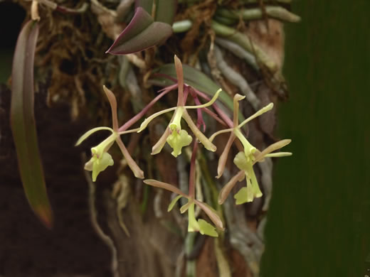 Green-fly Orchid (Epidendrum conopseum, Epidendrum magnoliae var. magnoliae, Epidendrum magnoliae, Epidendrum conopseum var. conopseum)
