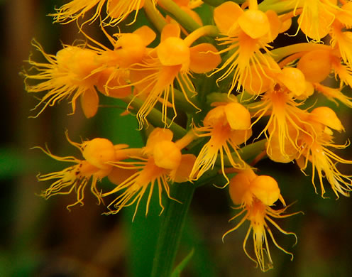 Crested Fringed Orchid, Golden Fringed Orchid (Habenaria cristata, Platanthera cristata)