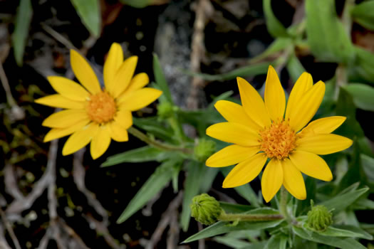 image of Pityopsis ruthii, Ruth's Golden-aster