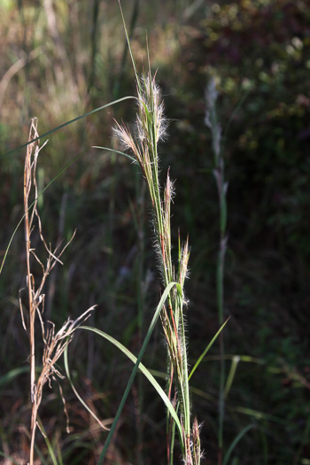 image of Andropogon hirsutior, Savanna Bushy Bluestem, Hairy Bluestem