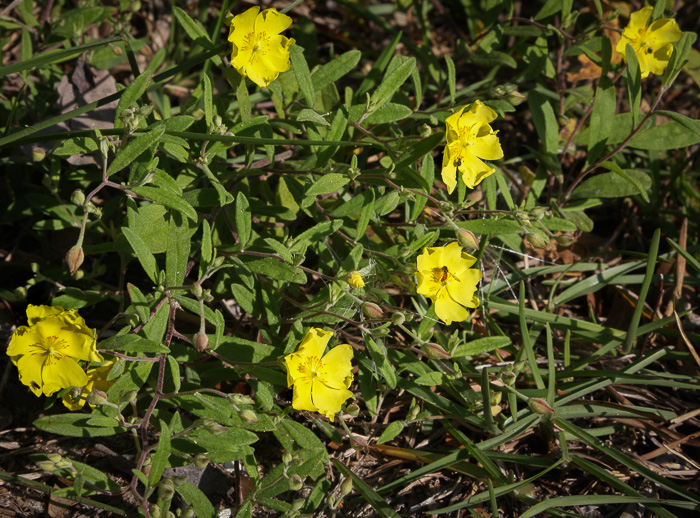 image of Crocanthemum georgianum, Georgia Sunrose, Georgia Frostweed