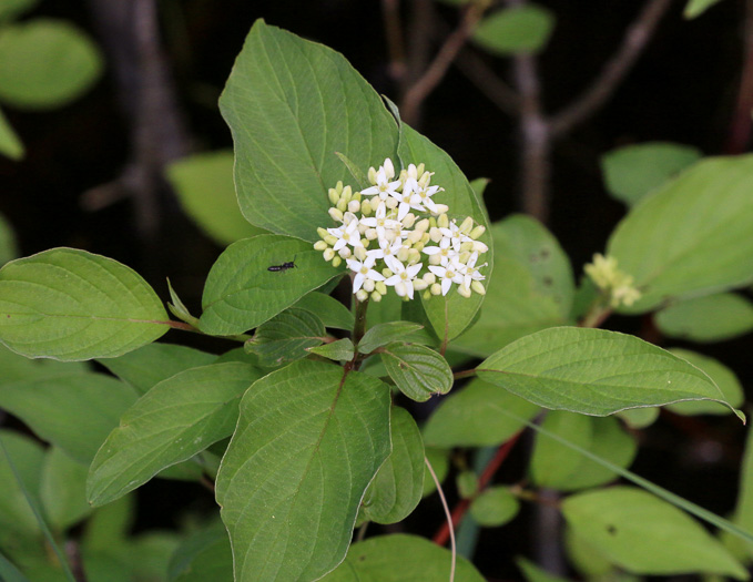 flower of Swida sericea, Red Osier Dogwood, Bailey's Dogwood