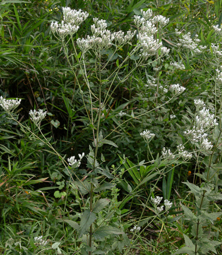 image of Eupatorium pilosum, Rough Boneset, Ragged Eupatorium