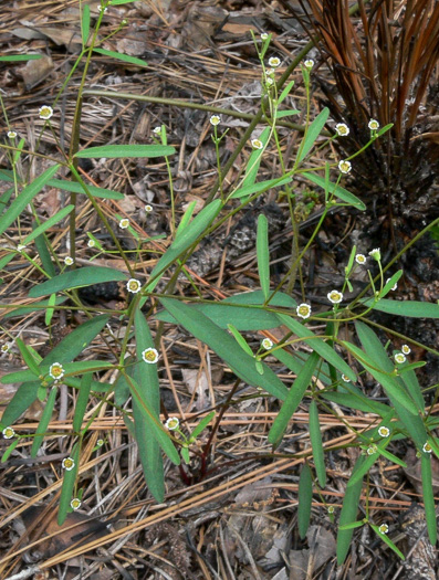 image of Euphorbia curtisii, White Sandhills Spurge