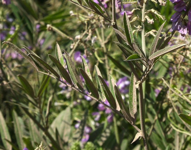 image of Galega officinalis, Professor-weed, Goats-rue