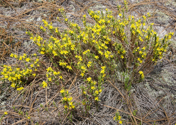 image of Hudsonia ericoides, Northern Golden-heather