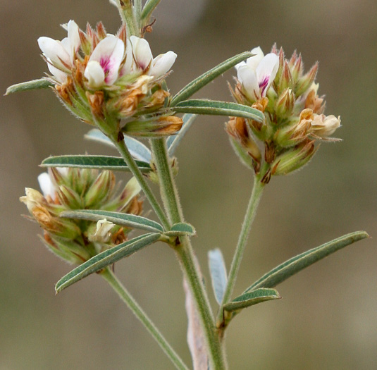 image of Lespedeza angustifolia, Narrowleaf Lespedeza, Narrowleaf Bush-clover
