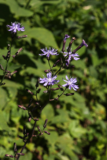 flower of Lactuca biennis, Tall Blue Lettuce