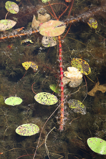 image of Myriophyllum heterophyllum, Southern Water-milfoil, Variable-leaf Water-milfoil