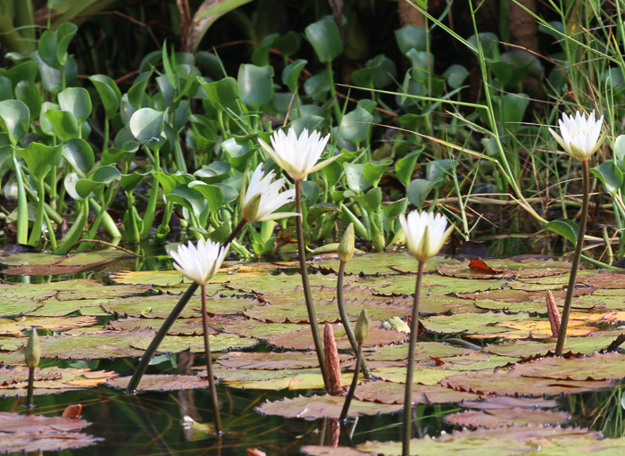 image of Nymphaea elegans, Tropical Blue Water-lily