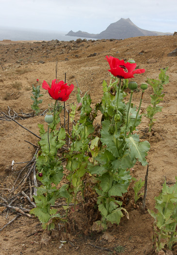 image of Papaver somniferum