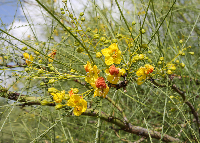 winged: Parkinsonia aculeata, Jerusalem Thorn, Crown-of-Thorns, Horse-bean, Mexican Palo Verde