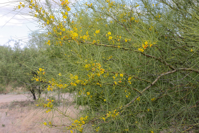 image of Parkinsonia aculeata, Jerusalem Thorn, Crown-of-Thorns, Horse-bean, Mexican Palo Verde