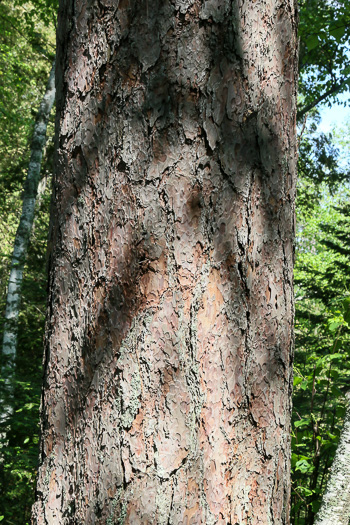 image of Pinus resinosa, Red Pine