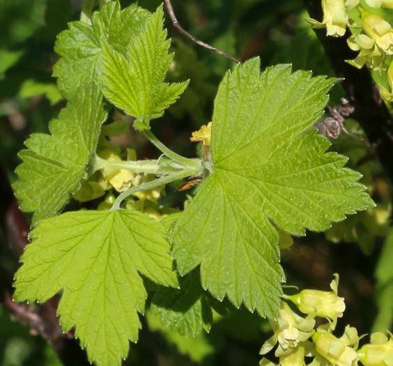 leaf or frond of Ribes americanum, Wild Black Currant, American Black Currant
