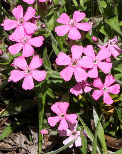 flower of Silene caroliniana var. pensylvanica, Northern Wild-pink, Sticky Catchfly, Pennsylvania Catchfly