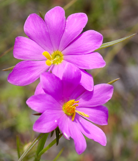 flower of Sabatia gentianoides, Pinewoods Rose-gentian, Pinewoods Rose-pink