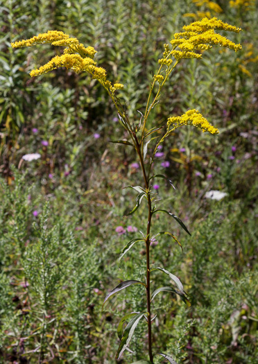 image of Solidago juncea, Early Goldenrod