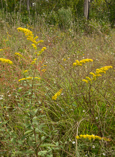 image of Solidago rugosa var. celtidifolia, Hackberry-leaf Goldenrod