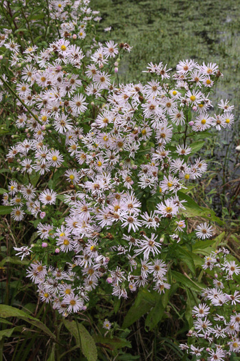auriculate: Symphyotrichum elliottii, Elliott's Aster, Southern Swamp Aster