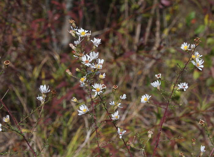 image of Symphyotrichum racemosum var. racemosum, Small White Aster