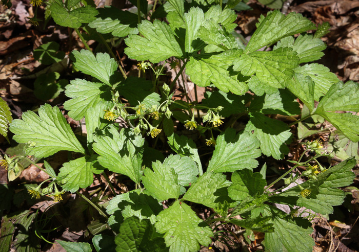image of Geum donianum, Southern Barren Stawberry