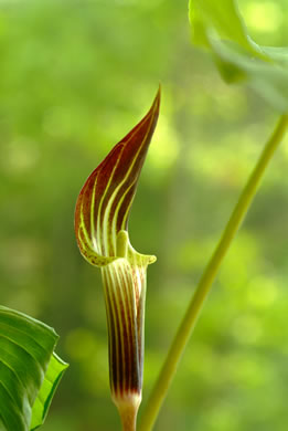 flower of Arisaema triphyllum, Common Jack in the Pulpit , Indian Turnip