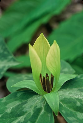 flower of Trillium discolor, Pale Yellow Trillium, Faded Trillium, Small Yellow Toadshade, Savannah River Trillium