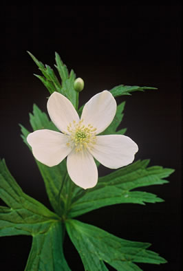 picture of -, image of Anemone canadensis