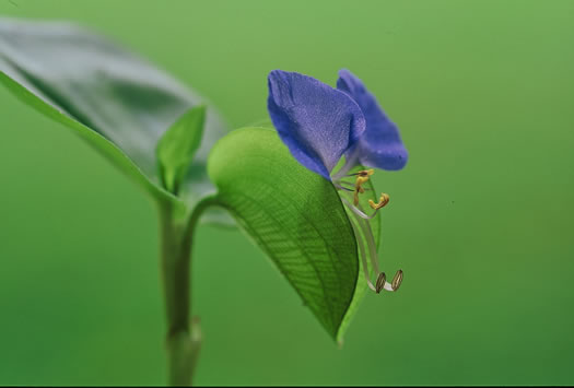 spathe: Commelina communis, Commelina communis, Commelina communis