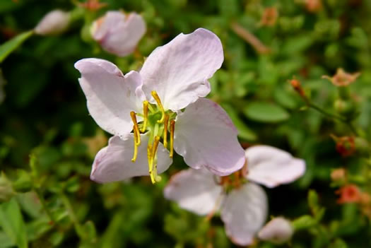 image of Rhexia mariana var. mariana, Pale Meadowbeauty, Maryland Meadowbeauty, Dull Meadowbeauty