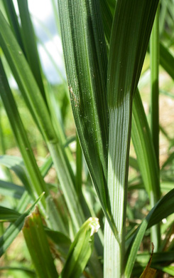 image of Carex gravida, Heavy Sedge, Pregnant Sedge