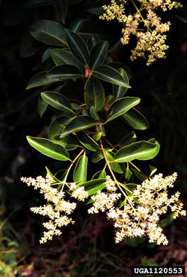 flower of Ligustrum lucidum, Glossy Privet, Broadleaf Privet