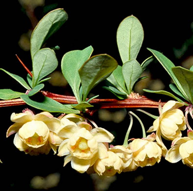 flower of Berberis thunbergii, Japanese Barberry