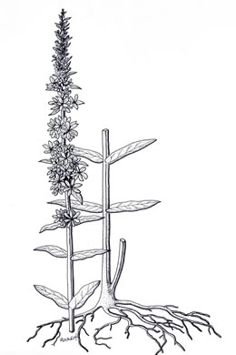 drawing of Lythrum salicaria, Purple Loosestrife
