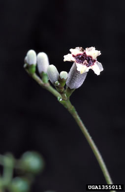 flower of Paederia foetida, Skunk-vine