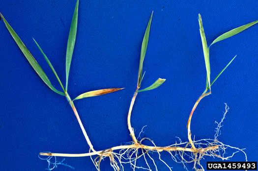 rhizome: Elymus repens, Quackgrass, Dog-grass, Witchgrass