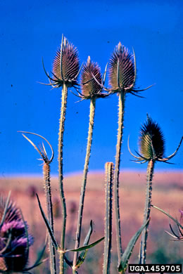 image of Dipsacus fullonum, Wild Teasel, Common Teasel