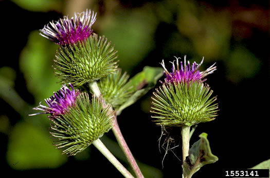 image of Arctium minus, Common Burdock