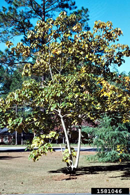 image of Vernicia fordii, Tung-oil Tree
