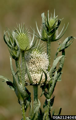 flower of Dipsacus laciniatus, Cutleaf Teasel