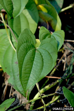 image of Dioscorea alata, Water Yam, White Yam, Great Yam, Winged Yam
