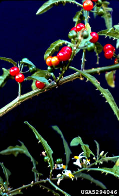 image of Solanum tampicense, Wetland Nightshade, Aquatic Soda Apple