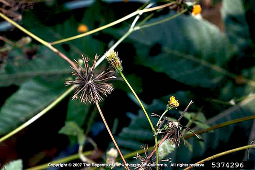 image of Bidens pilosa, Hairy Beggarticks