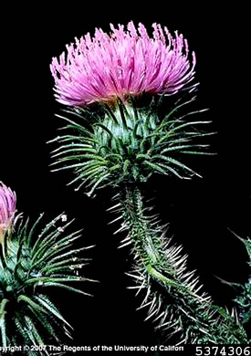 image of Carduus acanthoides ssp. acanthoides, Plumeless Thistle