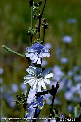 image of Cichorium intybus, Chicory, Blue Sailors, Succory