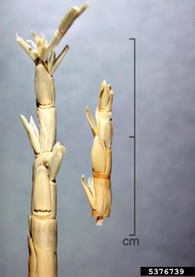 image of Rottboellia cochinchinensis, Itch-grass