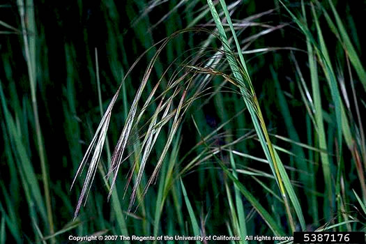 image of Bromus sterilis, Poverty Brome, Barren Brome, Cheatgrass