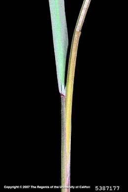 sheath: Bromus sterilis, Poverty Brome, Barren Brome, Cheatgrass