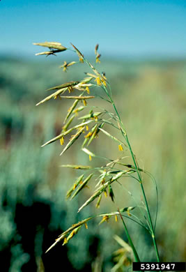 image of Bromus inermis, Smooth Brome, Hungarian Brome